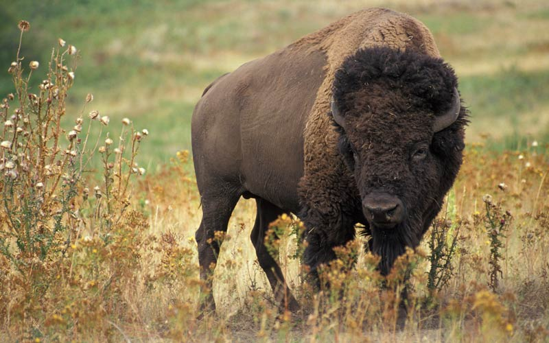 A buffalo on the plains