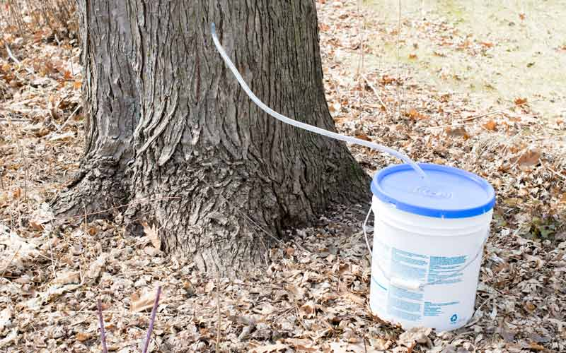 Sap being collected from a tree