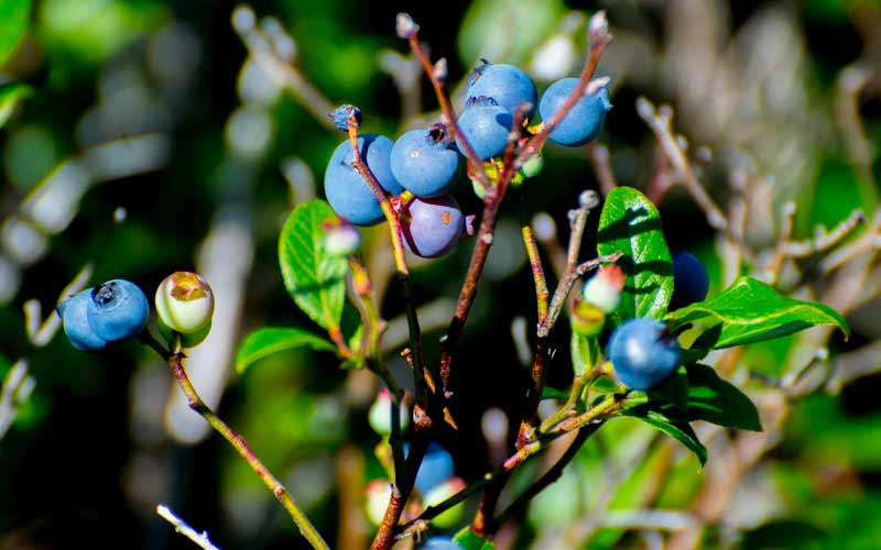 Wild blueberries make a great mid-hike snack