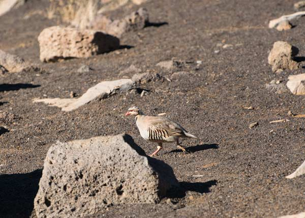 Chukar at Haleakala