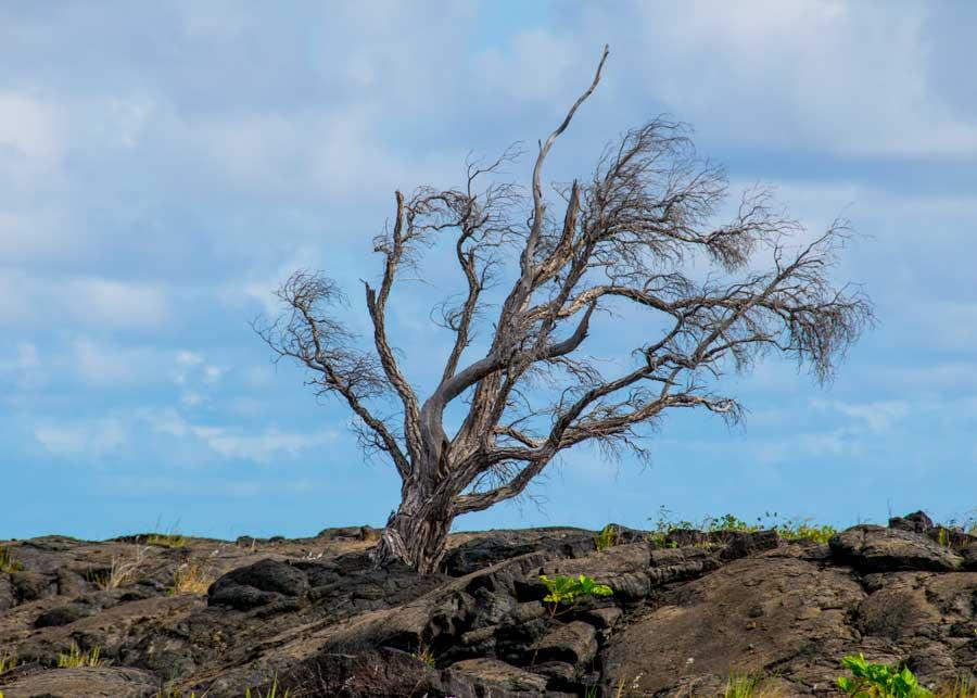 Lost Tree on Lava Field