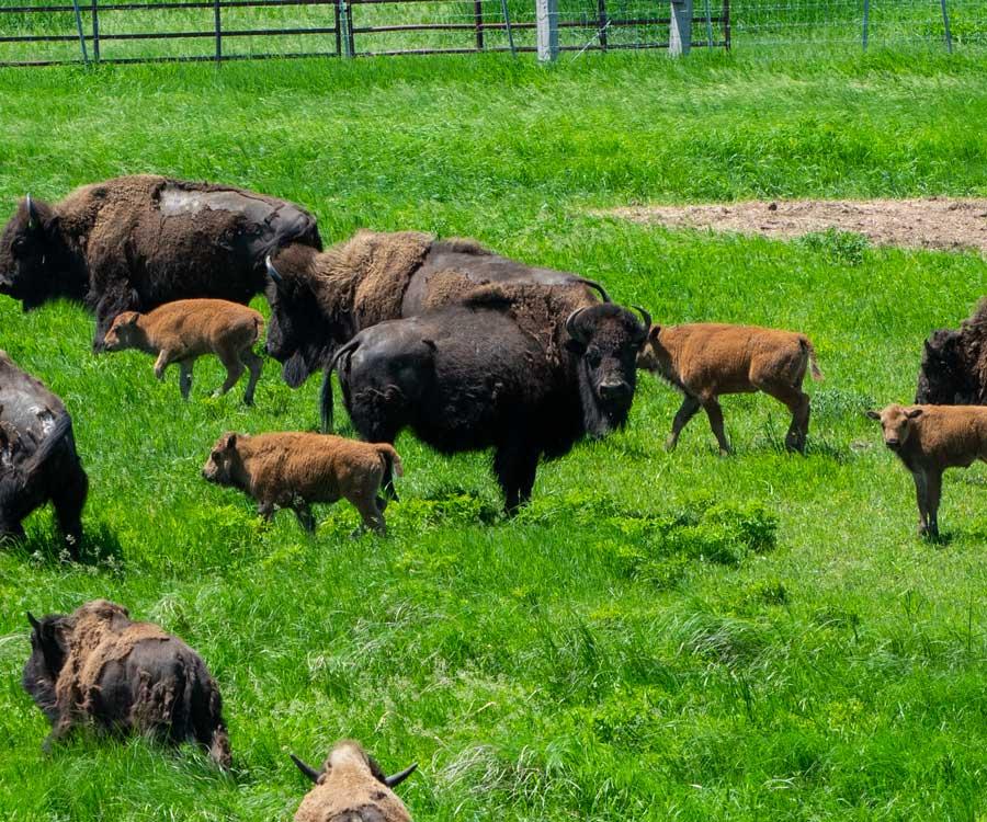 Buffalo Roaming